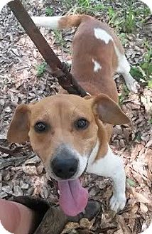 Beagle/Basset Hound Mix Dog for adoption in Attalla, Alabama - Bullet