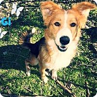 Adopt A Pet :: GiGi - Converse, TX