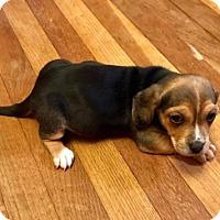 Adopt A Pet :: Manda - Chester Springs, PA