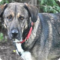 Adopt A Pet :: Addison (Addie) - Conway, NH