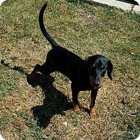 Adopt A Pet :: Bowser - Portland, OR