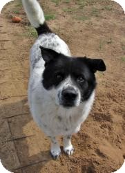 Akita Mix Dog for adoption in Quinlan, Texas - Sport