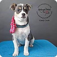 Adopt A Pet :: Candy Crush - Shawnee Mission, KS