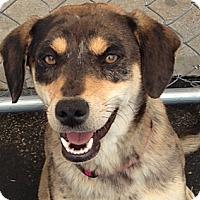 Adopt A Pet :: Pippa - Brattleboro, VT