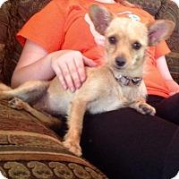 Adopt A Pet :: DOLCE - Boca Raton, FL
