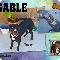 Adopt A Pet :: SABLE - Higley, AZ