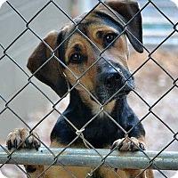 Adopt A Pet :: Bentley - Knoxville, TN