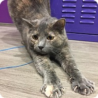 Domestic Shorthair Cat for adoption in Herndon, Virginia - Alley Kat
