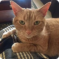 Adopt A Pet :: Maestro - Merrifield, VA