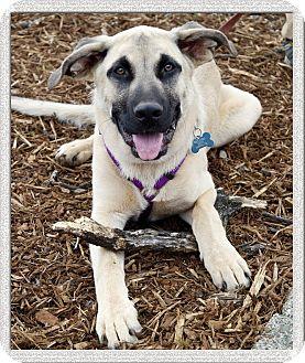 Belgian Malinois/Labrador Retriever Mix Puppy for adoption in Sacramento, California - Scooby loves people