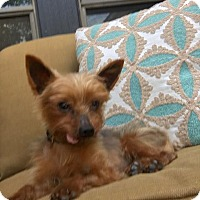 Yorkie, Yorkshire Terrier Dog for adoption in Spring, Texas - Titan