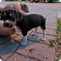 Adopt A Pet :: Lucy X's pup Betsy - Tampa, FL