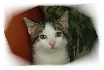 Domestic Shorthair Kitten for adoption in Montgomery, Illinois - Destiny