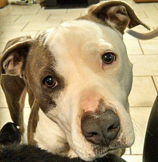 Pit Bull Terrier Mix Dog for adoption in Lakeland, Florida - Dylan