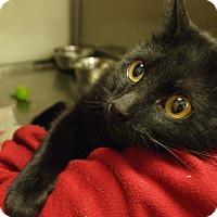 Domestic Shorthair Cat for adoption in Buhl, Idaho - Traycee