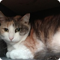 Domestic Shorthair Cat for adoption in Hanna City, Illinois - Clementine