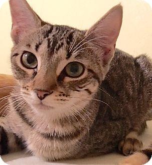 Domestic Shorthair Kitten for adoption in Metairie, Louisiana - Farrah - Brown Tabby w/Orange