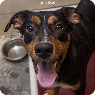 Labrador Retriever/Australian Shepherd Mix Dog for adoption in Greensburg, Pennsylvania - Boris