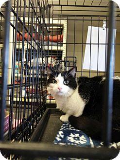 Domestic Shorthair Cat for adoption in Avon, Ohio - Miriam