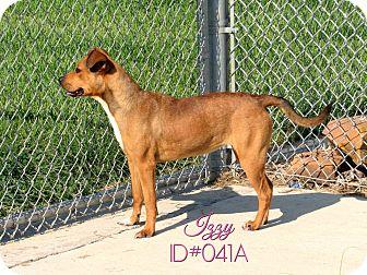 Labrador Retriever/Shepherd (Unknown Type) Mix Dog for adoption in Humble, Texas - Izzy