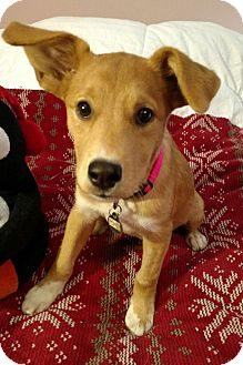Labrador Retriever/Basenji Mix Puppy for adoption in Chattanooga, Tennessee - Roseanna