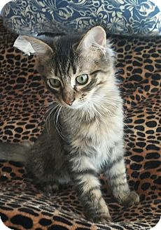 Domestic Longhair Kitten for adoption in Owatonna, Minnesota - Jerry