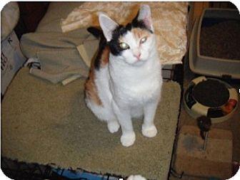 Calico Cat for adoption in Colmar, Pennsylvania - Abbee