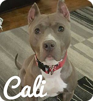 American Pit Bull Terrier Mix Dog for adoption in Des Moines, Iowa - Cali-adoption pending!