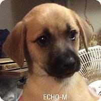 Adopt A Pet :: Echo - Burlington, VT