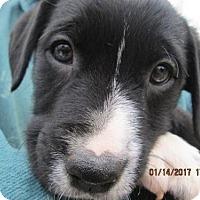 Adopt A Pet :: MERLE - Williston Park, NY