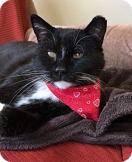Domestic Shorthair Cat for adoption in Toledo, Ohio - Oscar