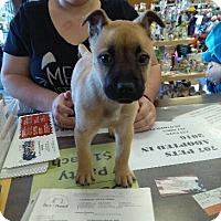 Adopt A Pet :: Jackson Teller - Ogden, UT