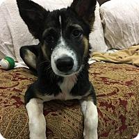 Adopt A Pet :: 'BINGO' - Agoura Hills, CA