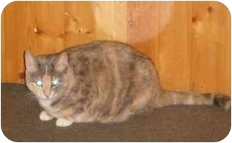 Domestic Shorthair Cat for adoption in Montreal, Quebec - Penelope