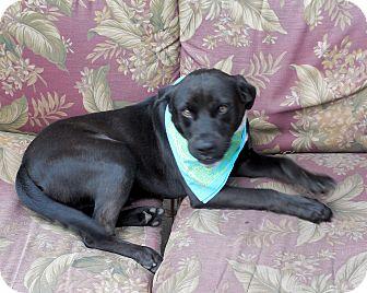 Labrador Retriever/Boxer Mix Dog for adoption in Ormond Beach, Florida - Luke