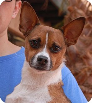 Chihuahua/Jack Russell Terrier Mix Dog for adoption in Las Vegas, Nevada - Spartacus
