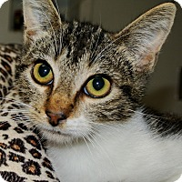 Domestic Shorthair Kitten for adoption in Bulverde, Texas - Gabby