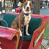 American Staffordshire Terrier Mix Dog for adoption in Toluca Lake, California - Brock