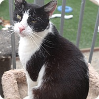 Domestic Shorthair Cat for adoption in San Pablo, California - LOUIE