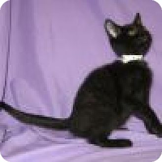 Domestic Shorthair Cat for adoption in Powell, Ohio - Sancho