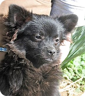 Pomeranian/Chihuahua Mix Puppy for adoption in Germantown, Maryland - Emerald