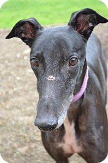 Greyhound Dog for adoption in Chagrin Falls, Ohio - Scooter (Scooter Wagz)
