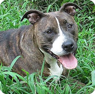 Boxer/American Staffordshire Terrier Mix Dog for adoption in Staten Island, New York - Roxy *URGT IMMED FOSTER HOME NEEDED*