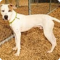Adopt A Pet :: Scooby - Justin, TX