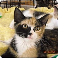 Adopt A Pet :: Calico Babies - Riverside, RI