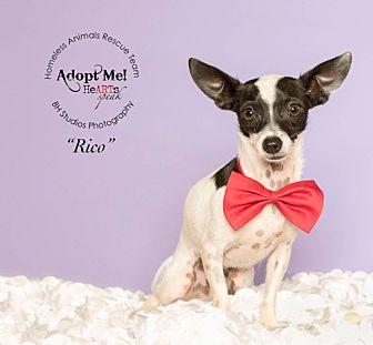 Chihuahua/Fox Terrier (Toy) Mix Dog for adoption in Houston, Texas - Rico aka Pestillito