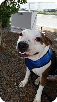 Pit Bull Terrier/Beagle Mix Dog for adoption in Sparks, Nevada - Lenny
