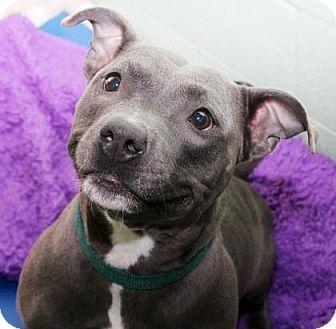Pit Bull Terrier Dog for adoption in Tyrone, Pennsylvania - Lola