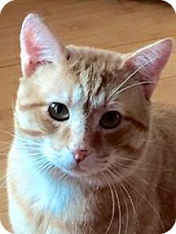 Domestic Shorthair Cat for adoption in McDonough, Georgia - Carl