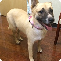 German Shepherd Dog/Collie Mix Dog for adoption in Oak Ridge, New Jersey - Diamond